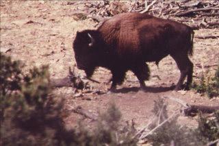 Henry Mountains Buffalo